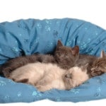 domestic cat beds