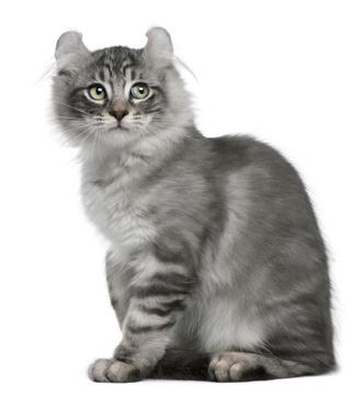 American Curl Cat Black
