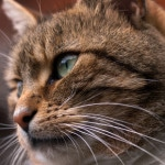 Domestic Cat whiskers