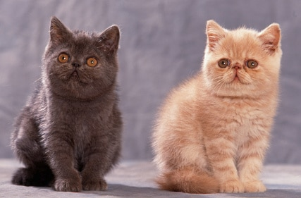 Exotic Shorthair The Adorable Cats Often Called Easy