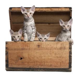 Ocicat Cats