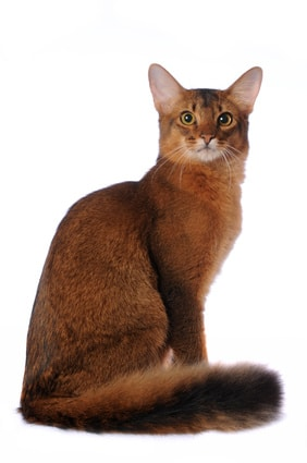 How Many Known Cat Breeds Are There
