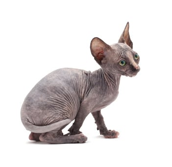 What Does A Hairless Cat Feel Like