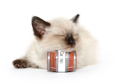 Why Do Some Cats Like Catnip