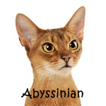 Abyssinian Click Here