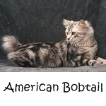 American Bobtail Click Here