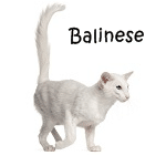 Balinese Read More
