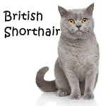British Shorthair More
