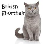 British Shorthair More