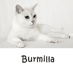 Burmilla Read more