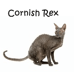 Cornish Rex Read More