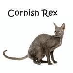 Cornish Rex Read More