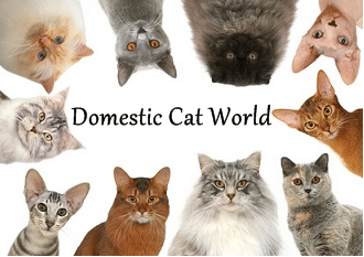 biggest house cat in the world 2014 domestic cat breeds - Biggest Cat In The World Guinness 2014