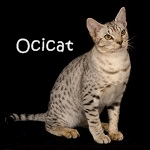 Ocicat Read More