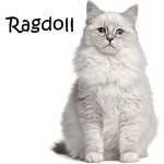 Ragdoll Cat Read More
