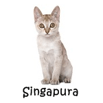 Singapura Cat Read more