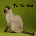 Tonkinese Read More