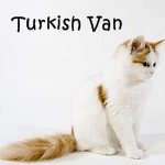 Turkish Van Cat Read More