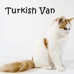 Turkish Van Cat Read More