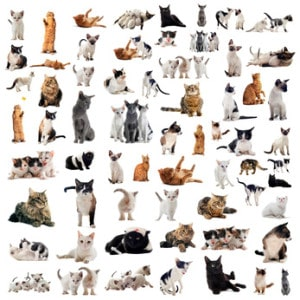 How Many Breeds Of Domesticated Cat Are There